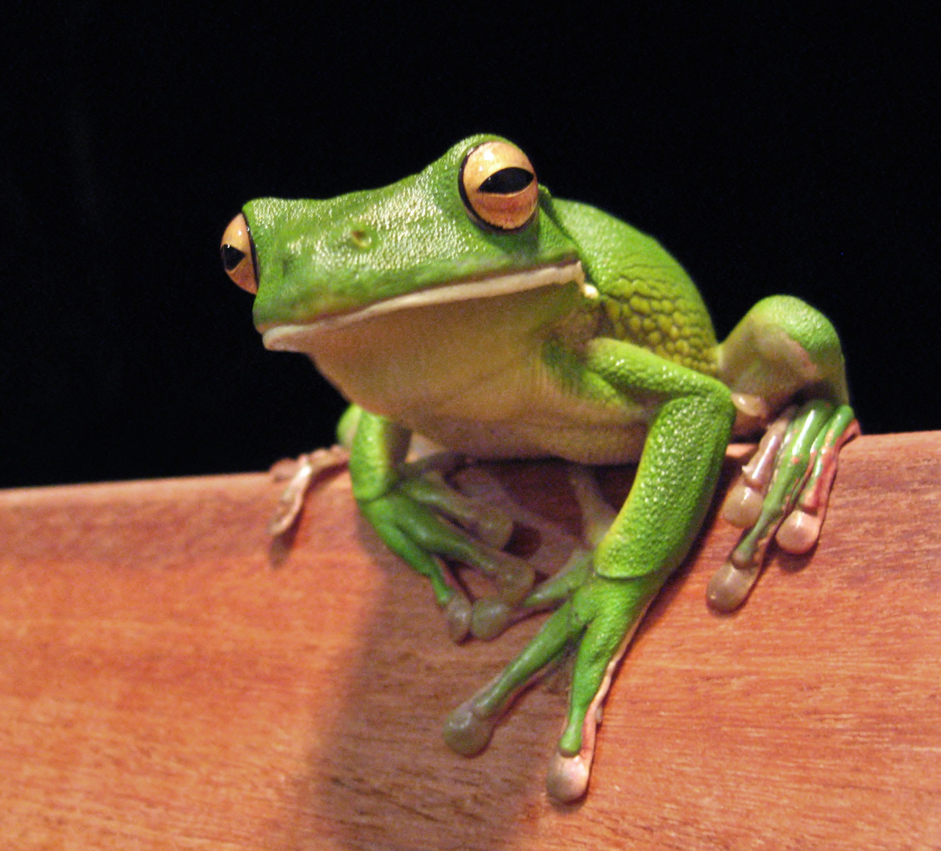 White_lipped_tree_frog_cairns_jan_8_2006 (1)